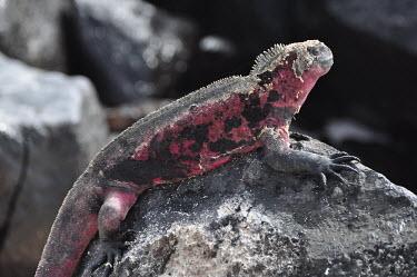 Galapagos marine iguana shedding skin - Galapagos Islands Galapagos marine iguana,Amblyrhynchus cristatus,Squamata,Lizards and Snakes,Iguanidae,Chordates,Chordata,Reptilia,Reptiles,sea iguana,Amblyrhynche � cr�te,Iguana Marina,Iguane marin,Terrestrial,Aquati