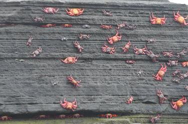 Sally lightfoot crabs - Galapagos Islands Sally lightfoot crab,Grapsus grapsus,Cancer jumpibus,Grapsus ornatus,Grapsus altifrons,Grapsus maculatus,Sally Lightfoot crab,Cancer grapsus,Grapsus pictus,Grapsidae,Grapsus,Animalia,Decapoda,Arthropo