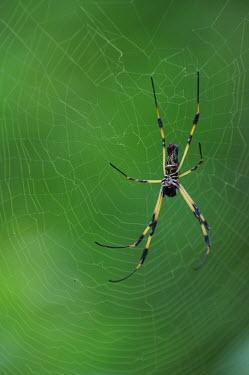 Golden silk orbweaver spider in its web - Galapagos Islands Golden silk orbweaver,Nephila clavipes