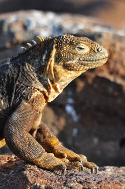 Galapagos land iguana - Galapagos Islands Galapagos land iguana,Conolophus subcristatus,Squamata,Lizards and Snakes,Reptilia,Reptiles,Chordates,Chordata,Iguanidae,Iguane terrestre des Gal�pagos,Iguana Terrestre De Las Gal�pagos,Conolophus,Ani