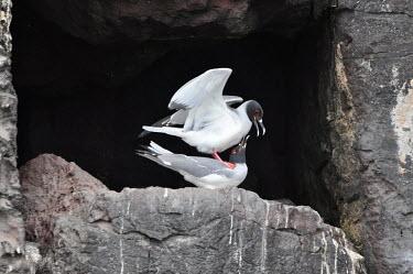 Swallow-tailed gulls during mating season - Galapagos Islands Swallow-tailed gull,Creagrus furcatus,Laridae,Gulls, Terns,Aves,Birds,Charadriiformes,Shorebirds and Terns,Ciconiiformes,Herons Ibises Storks and Vultures,Chordates,Chordata,Least Concern,Marine,Anima