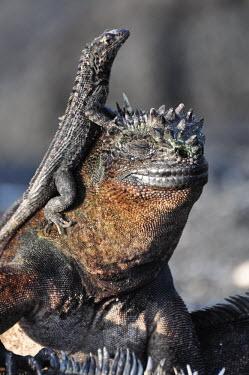 Galapagos marine iguana - Galapagos Islands Galapagos marine iguana,Amblyrhynchus cristatus,Squamata,Lizards and Snakes,Iguanidae,Chordates,Chordata,Reptilia,Reptiles,sea iguana,Amblyrhynche � cr�te,Iguana Marina,Iguane marin,Terrestrial,Aquati