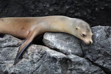 Galapagos sea lion lazing on rocks - Galapagos Islands Galapagos sea lion,Zalophus wollebaeki,Galapagos sealion,Carnivores,Carnivora,Otariidae,Eared Seals,Chordates,Chordata,Mammalia,Mammals,Zalophus californianus wollebaeki,wollebaeki,Coastal,South Ameri