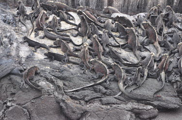 Galapagos marine iguanas clustered on rocks - Galapagos Islands Galapagos marine iguana,Amblyrhynchus cristatus,Squamata,Lizards and Snakes,Iguanidae,Chordates,Chordata,Reptilia,Reptiles,sea iguana,Amblyrhynche � cr�te,Iguana Marina,Iguane marin,Terrestrial,Aquati