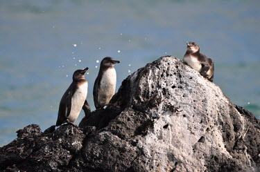 Galapagos penguin - Galapagos Islands Galapagos penguin,Spheniscus mendiculus,Aves,Birds,Spheniscidae,Penguins,Chordates,Chordata,Sphenisciformes,Asia,Aquatic,Spheniscus,mendiculus,Shore,Terrestrial,Carnivorous,Endangered,Coastal,Animalia