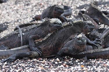 Galapagos marine iguanas - Galapagos Islands Galapagos marine iguana,Amblyrhynchus cristatus,Squamata,Lizards and Snakes,Iguanidae,Chordates,Chordata,Reptilia,Reptiles,sea iguana,Amblyrhynche � cr�te,Iguana Marina,Iguane marin,Terrestrial,Aquati