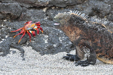 Galapagos marine iguana and a sally lightfoot crab - Galapagos Islands Grapsus grapsus,Sally lightfoot crab,Galapagos marine iguana,Amblyrhynchus cristatus,Squamata,Lizards and Snakes,Iguanidae,Chordates,Chordata,Reptilia,Reptiles,sea iguana,Amblyrhynche � cr�te,Iguana M
