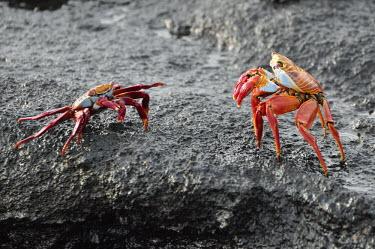 Sally lightfoot crabs face off - Galapagos Islands Sally lightfoot crab,Grapsus grapsus,Cancer jumpibus,Grapsus ornatus,Grapsus altifrons,Grapsus maculatus,Sally Lightfoot crab,Cancer grapsus,Grapsus pictus,Grapsidae,Grapsus,Animalia,Decapoda,Arthropo