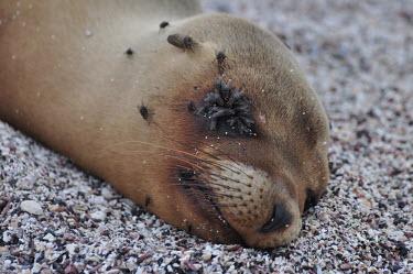 Galapagos sea lion asleep with flies swarming its face - Galapagos Islands Galapagos sea lion,Zalophus wollebaeki,Galapagos sealion,Carnivores,Carnivora,Otariidae,Eared Seals,Chordates,Chordata,Mammalia,Mammals,Zalophus californianus wollebaeki,wollebaeki,Coastal,South Ameri