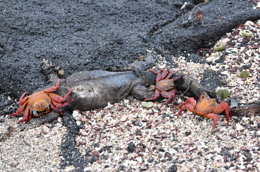 Sally lightfoot crab feasting on a dead marine iguana - Galapagos Islands Sally lightfoot crab,Grapsus grapsus,Cancer jumpibus,Grapsus ornatus,Grapsus altifrons,Grapsus maculatus,Sally Lightfoot crab,Cancer grapsus,Grapsus pictus,Grapsidae,Grapsus,Animalia,Decapoda,Arthropo