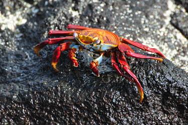 Sally lightfoot crab - Galapagos Islands Sally lightfoot crab,Grapsus grapsus,Cancer jumpibus,Grapsus ornatus,Grapsus altifrons,Grapsus maculatus,Sally Lightfoot crab,Cancer grapsus,Grapsus pictus,Grapsidae,Grapsus,Animalia,Decapoda,Arthropo