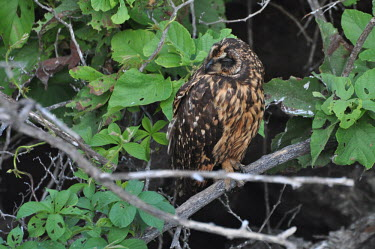 Short-eared owl - Galapagos Islands Asio flammeus galapagoensis,Galapagos short-eared owl,owl,owls,bird of prey,Galapagos,Short-eared owl,Asio flammeus,Owls,Strigiformes,True Owls,Strigidae,Aves,Birds,Chordates,Chordata,Hibou des marais