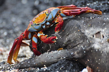 Sally lightfoot crab eating a the carcass of a marine iguana - Galapagos Islands Sally lightfoot crab,Grapsus grapsus,Cancer jumpibus,Grapsus ornatus,Grapsus altifrons,Grapsus maculatus,Sally Lightfoot crab,Cancer grapsus,Grapsus pictus,Grapsidae,Grapsus,Animalia,Decapoda,Arthropo