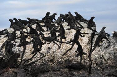 Galapagos marine iguana colony - Galapagos Islands Galapagos marine iguana,Amblyrhynchus cristatus,Squamata,Lizards and Snakes,Iguanidae,Chordates,Chordata,Reptilia,Reptiles,sea iguana,Amblyrhynche � cr�te,Iguana Marina,Iguane marin,Terrestrial,Aquati