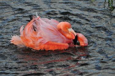 Caribbean flamingo - Galapagos Islands Caribbean flamingo,Phoenicopterus ruber,Ciconiiformes,Herons Ibises Storks and Vultures,Aves,Birds,Flamingos,Phoenicopteriformes,Phoenicopteridae,Chordates,Chordata,Phoenicopterus ruber ruber,American
