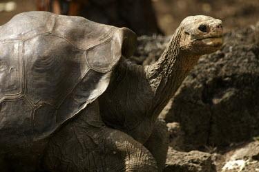 Galapagos giant tortoise - Galapagos geochelone elephantopus,Galapagos giant tortoise,Chelonoidis nigra,Reptilia,Reptiles,Chordates,Chordata,Turtles,Testudines,Tortoises,Testudinidae,Geochelone spp.,Testudo nigra,Geochelone nigra,Tortuga