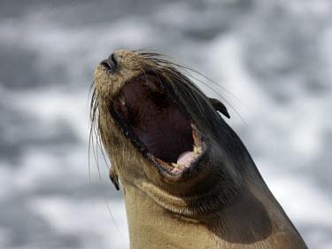 Galapagos sea lion - Galapagos Galapagos sea lion,Zalophus wollebaeki,Galapagos sealion,Carnivores,Carnivora,Otariidae,Eared Seals,Chordates,Chordata,Mammalia,Mammals,Zalophus californianus wollebaeki,wollebaeki,Coastal,South Ameri