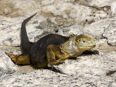 Galapagos land iguana - Galapagos Galapagos land iguana,Conolophus subcristatus,Squamata,Lizards and Snakes,Reptilia,Reptiles,Chordates,Chordata,Iguanidae,Iguane terrestre des Gal�pagos,Iguana Terrestre De Las Gal�pagos,Conolophus,Ani