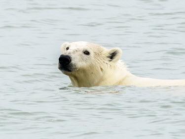 Polar bear - Norway Polar bear,Ursus maritimus,Chordates,Chordata,Bears,Ursidae,Mammalia,Mammals,Carnivores,Carnivora,Ours Blanc,Ours Polaire,Oso Polar,Snow and ice,North America,Europe,maritimus,Vulnerable,Carnivorous,T