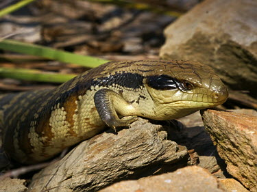 Eastern blue-tongue - Australia Common Bluetongue,Eastern Bluetongue,Eastern Blue-Tongued Lizard,Northern Bluetongue,Animalia,Chordata,Reptilia,Squamata,Scincidae,Tiliqua scincoides,lizard,lizards,Eastern Blue-tongue