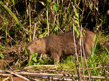 Capybara - Peru Capybara,Hydrochaeris hydrochaeris,Hydrochoerus hydrochaeris,Chordates,Chordata,Guinea Pig, Wild Cavies, and the Capybara,,Caviidae,Rodents,Rodentia,Mammalia,Mammals,Hydrochoeris hydrochaeris,Riparian