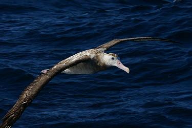 Wandering albatross - Australia Wandering albatross,Diomedea exulans,Procellariiformes,Albatrosses, Petrels,Albatrosses,Diomedeidae,Chordates,Chordata,Ciconiiformes,Herons Ibises Storks and Vultures,Aves,Birds,Antarctic,Diomedea,Coa