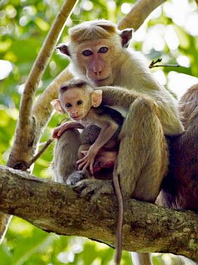 Toque macaque - Sri Lanka Toque macaque,Macaca sinica,Mammalia,Mammals,Old World Monkeys,Cercopithecidae,Primates,Chordates,Chordata,Macaque Toque,Macaque Couronn�,Macaca De Sri Lanka,Endangered,Scrub,Animalia,Omnivorous,Arbor