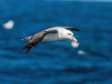 Black-browed albatross - Australia Black-browed albatross,Thalassarche melanophrys,Procellariiformes,Albatrosses, Petrels,Aves,Birds,Chordates,Chordata,Albatrosses,Diomedeidae,Ocean,Aquatic,melanophrys,Grassland,Carnivorous,Appendix II
