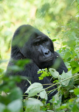 Eastern gorilla - Uganda Eastern gorilla,Gorilla beringei,Mammalia,Mammals,Chordates,Chordata,Primates,Hominids,Hominidae,Rainforest,Endangered,Gorilla,Africa,Animalia,beringei,Terrestrial,Herbivorous,IUCN Red List,Critically