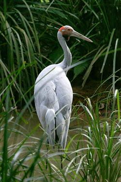 Brolga - Australia Grus rubicunda,Grus rubicundus,Antigone rubicunda,Animalia,Chordata,Aves,Gruiformes,Gruidae,Brolga,bird,birds,crane,Australian crane