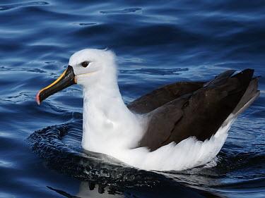 Yellow-nosed albatross - Australia Yellow-nosed Albatross,Thalassarche chlororhynchos,Atlantic yellow-nosed albatross,Albatrosses,Diomedeidae,Procellariiformes,Albatrosses, Petrels,Chordates,Chordata,Ciconiiformes,Herons Ibises Storks