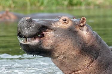 Hippopotamus - Uganda Hippopotamus,Hippopotamus amphibius,Hippopotamidae,Hippopotamuses,Mammalia,Mammals,Even-toed Ungulates,Artiodactyla,Chordates,Chordata,Hippo,common hippopotamus,Hipop�tamo Anfibio,Hippopotame,Appendix