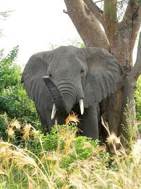 African elephant - Uganda African elephant,Loxodonta africana,Elephants,Elephantidae,Chordates,Chordata,Elephants, Mammoths, Mastodons,Proboscidea,Mammalia,Mammals,savanna elephant,Loxodonta africana africana,�l�phant d'Afriqu