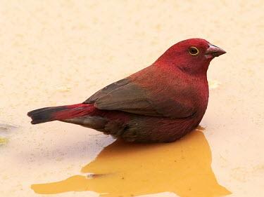 Red-billed firefinch - Uganda Animalia,Chordata,Aves,Passeriformes,Estrildidae,Lagonosticta senegala,Red-billed firefinch,finch,bird,birds