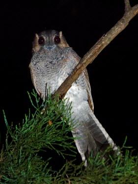 Australian Owlet-nightjar - Australia Animalia,Chordata,Aves,Caprimulgiformes,Aegothelidae,Aegotheles cristatus,Australian Owlet-nightjar