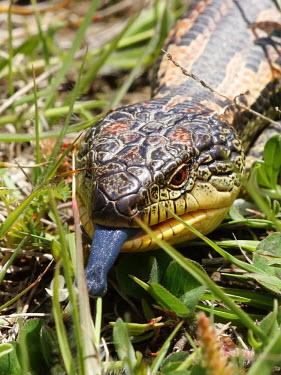 Blotched blue-tongued lizard - Australia Blotched blue-tongued lizard,Animalia,Chordata,Reptilia,Squamata,Scincidae,Tiliqua,Tiliqua nigrolutea,lizard,lizards