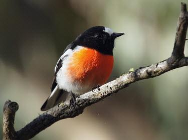 Scarlet robin - Australia Scarlet robin,Animalia,Chordata,Aves,Passeriformes,Petroicidae,Petroica boodang,robin,bird,birds