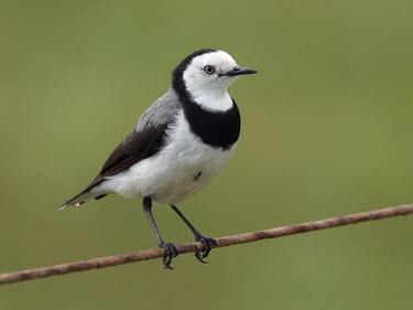 White-fronted chat - Australia Animalia,Chordata,Aves,Passeriformes,Meliphagidae,Epthianura albifrons,White-fronted chat,chat,bird,birds