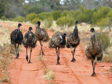 Emu - Australia Emu,Dromaius novaehollandiae,Emus,Dromaiidae,Aves,Birds,Chordates,Chordata,Ostriches,Struthioniformes,Least Concern,Dromaius,Omnivorous,Semi-desert,Terrestrial,novaehollandiae,Australia,Desert,Forest,