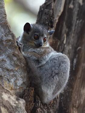 White-footed sportive lemur - Madagascar madagascar,berenty,toliara,whitefootedsportivelemur,lepilemurleucopus,kookr,sonysal70400g,davidcookwildlifephotography,sonyslta77v,2012davidcookwildlifephotographyallrightsreserved,White-footed sporti