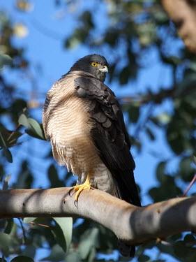 Collared sparrowhawk - Australia Collared sparrowhawk,Animalia,Chordata,Aves,Accipitriformes,Accipitridae,Accipiter cirrocephalus,sparrowhawk,bird,birds