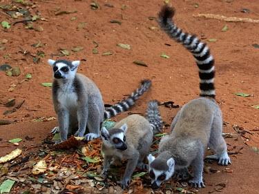 Ring-tailed lemur - Madagascar madagascar,ringtailedlemur,berenty,lemurcatta,toliara,kookr,sonysal70400g,davidcookwildlifephotography,sonyslta77v,2012davidcookwildlifephotographyallrightsreserved,Ring-tailed lemur,Lemur catta,Chord