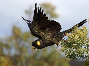 Yellow-tailed black-cockatoo - Australia Yellow-tailed Black-cockatoo,Yellow-tailed Black Cockatoo,Yellow-tailed Black-Cockatoo,Animalia,Chordata,Aves,Psittaciformes,Cacatuidae,Zanda funerea,Calyptorhynchus funereus