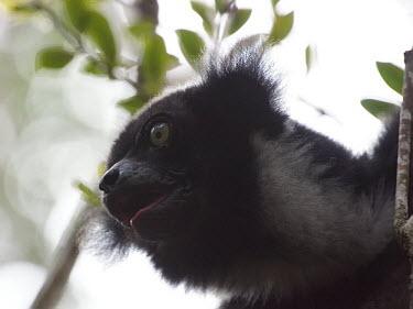 Indri - Madagascar Indri,Indri indri,Indridae,Mammalia,Mammals,Chordates,Chordata,Primates,Indri Colicorto,Indri � Queue Courte,Rainforest,Terrestrial,Herbivorous,Indriidae,Animalia,Endangered,indri,Appendix I,Arboreal,
