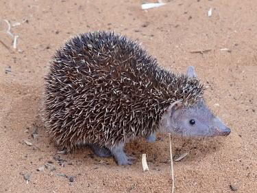 Lesser hedgehog tenrec - Madagascar Lesser Hedgehog Tenrec,Animalia,Chordata,Mammalia,Afrosoricida,Tenrecidae,Echinops telfairi,tenrec