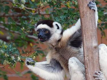 Verreaux's sifaka - Madagascar Verreaux's sifaka,Propithecus verreauxi,Chordates,Chordata,Indridae,Primates,Mammalia,Mammals,Propith�que De Verreaux,Animalia,Herbivorous,Appendix I,verreauxi,Tropical,Vulnerable,Arboreal,Africa,Prop