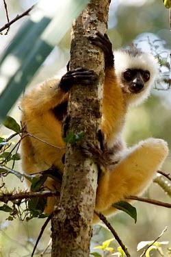 Diademed sifaka - Madagascar Diademed sifaka,Propithecus diadema,Primates,Indridae,Mammalia,Mammals,Chordates,Chordata,Propith�que � Diad�me,Animalia,Herbivorous,Indriidae,Arboreal,Propithecus,Critically Endangered,diadema,Rainfo