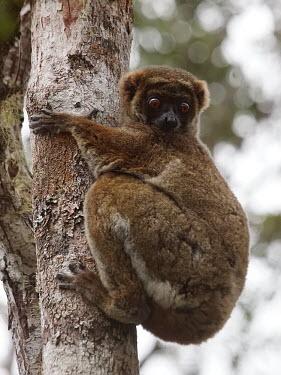 Eastern woolly lemur - Madagascar Eastern woolly lemur,Avahi laniger,Mammalia,Mammals,Chordates,Chordata,Indridae,Primates,eastern avahi,woolly lemur,Avahi,Gmelins woolly lemur,woolly indris,Maki � Bourre,Avahi Laineux,Indri Lanudo,He