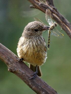 Rufous whistler - Australia Animalia,Chordata,Aves,Passeriformes,Pachycephalidae,Pachycephala rufiventris,Rufous whistler,bird,birds
