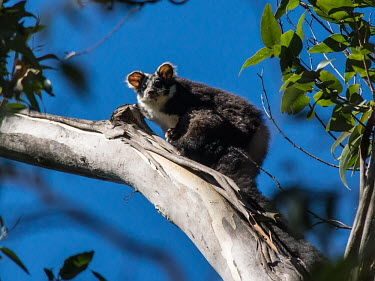 Greater Glider - Australia Greater Glider,Greater Gliding Possum,possum,Animalia,Chordata,Mammalia,Diprotodontia,Pseudocheiridae,Petauroides volans